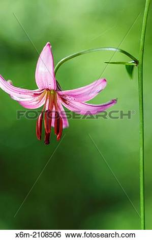 Stock Images of Martagon or Turk's cap lily (Lilium martagon.