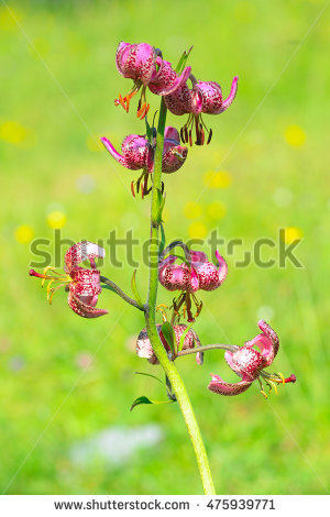 Lilium Martagon Stock Photos, Royalty.