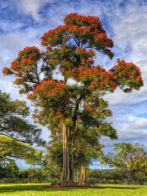 African Tulip At Liliuokalani Park,Hilo, Hawaiisaw this.