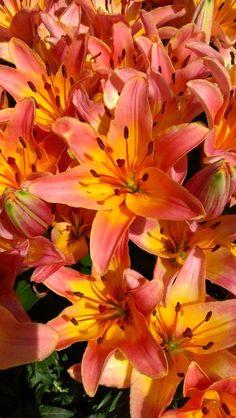 love tiger lillies!.