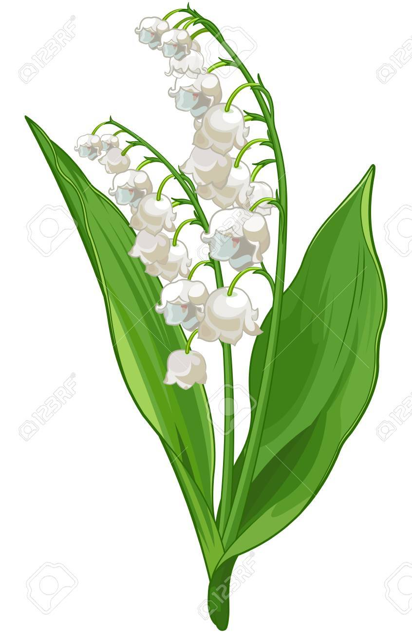 Illustration of Convallaria lily of the valley.