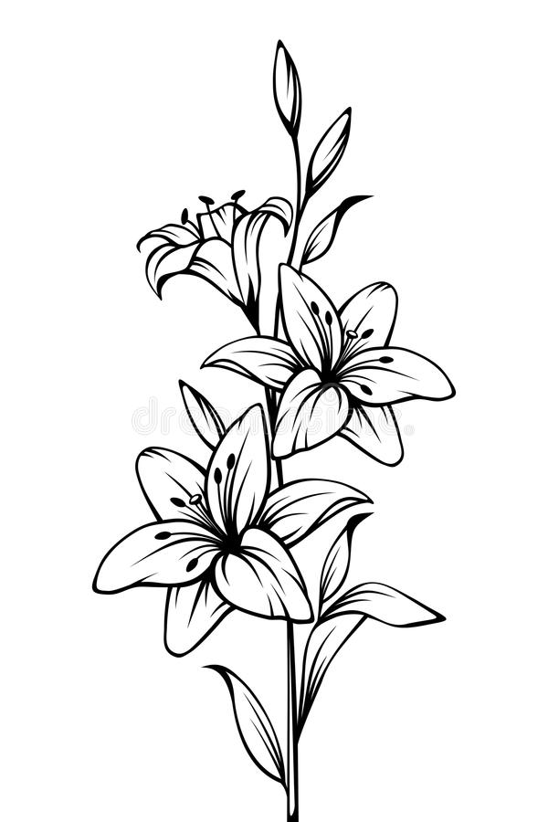 Black White Lily Drawing Stock Illustrations.