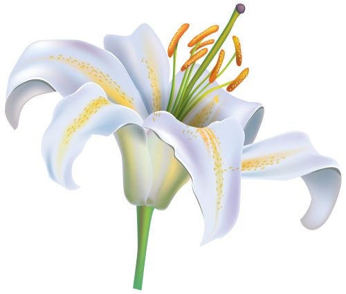 White Lily Flower PNG Clipart Image.