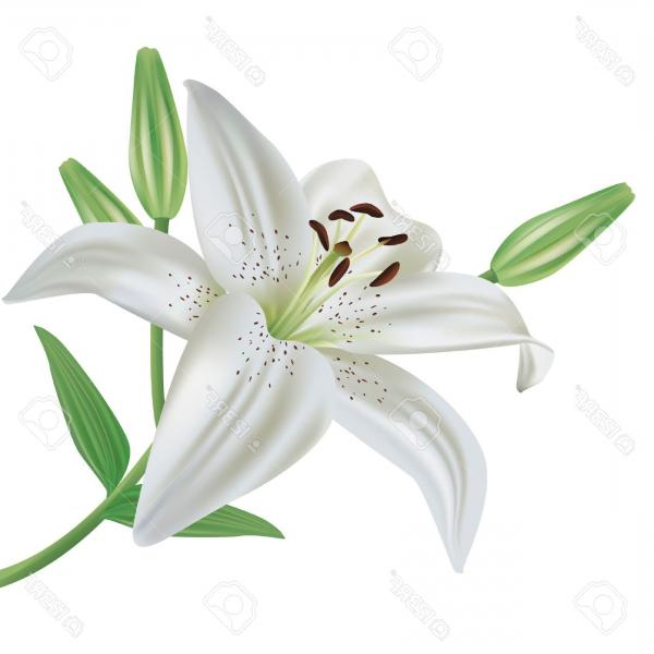 Top White Lily Clip Art Image.