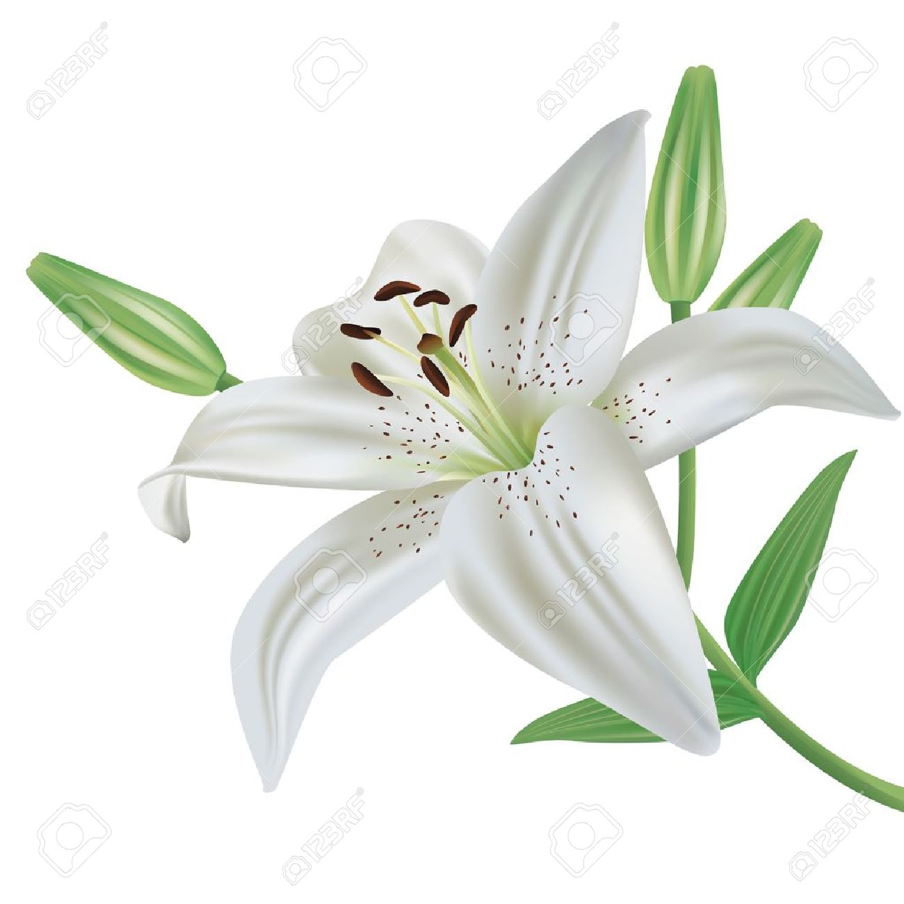 Lily Flowers Clipart.