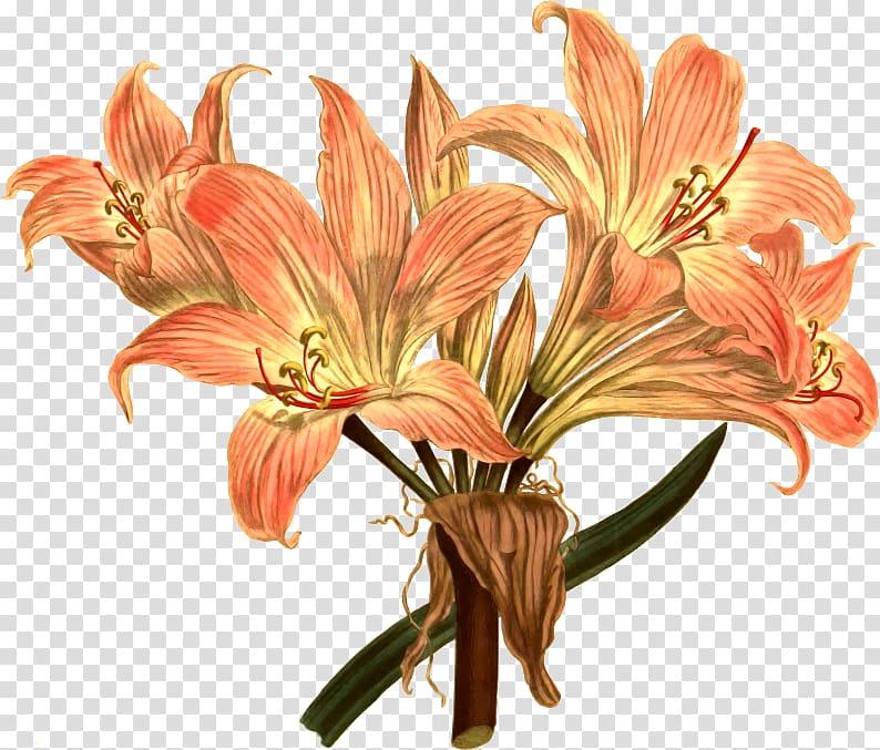 Amaryllis belladonna Flower Drawing Botanical illustration.