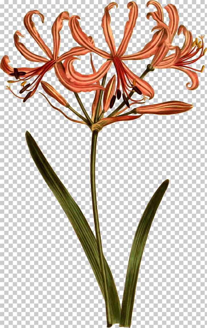 Curtis\'s Botanical Magazine Botany Botanical illustration.