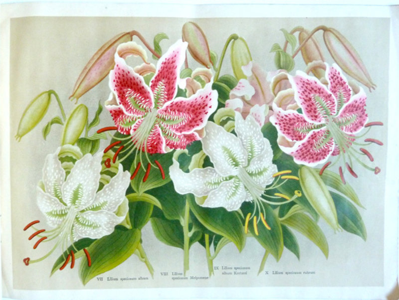LILIES OF JAPAN. by (Trade catalogue.