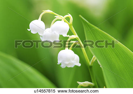 Stock Image of Lily of the valley, close.