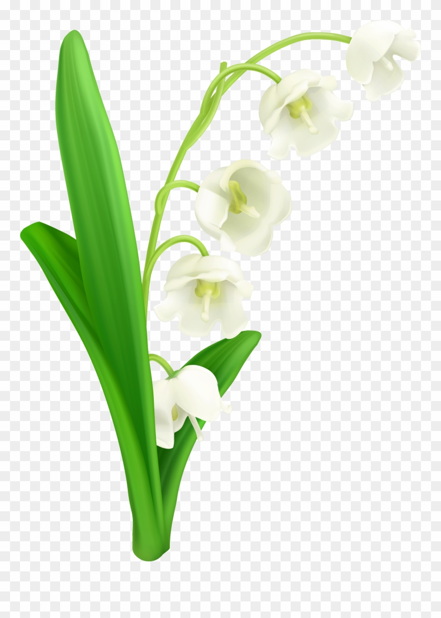 Lily Of The Valley Png Clipart Gallery Yopriceville.