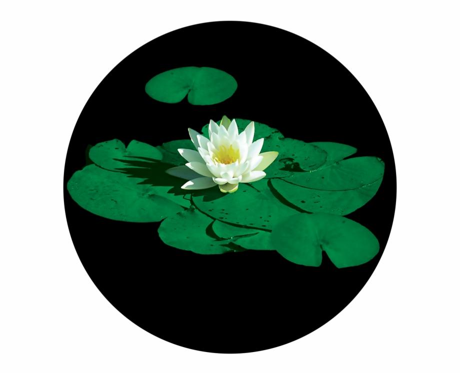 Stunning Lily Pad.