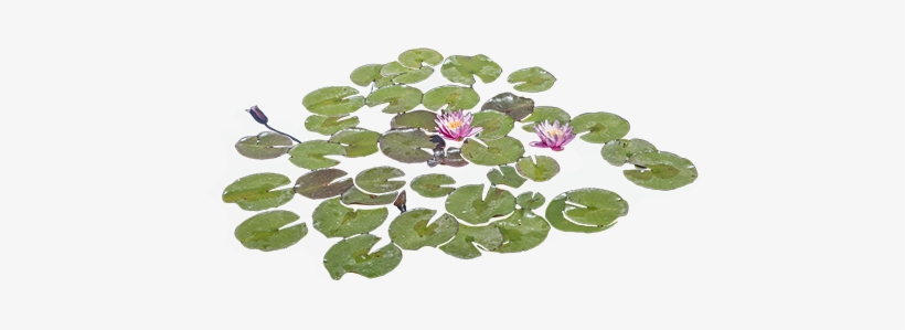 Lily Pads Floating In A Pond With Some Bright Purple.