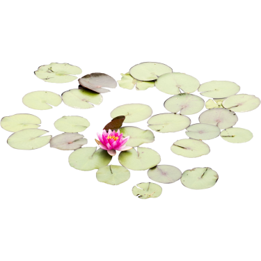 Lily pads with one rose.