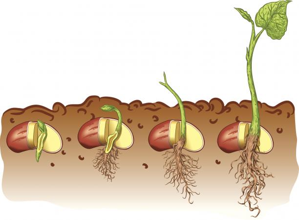 Life Cycle Bean Plant.