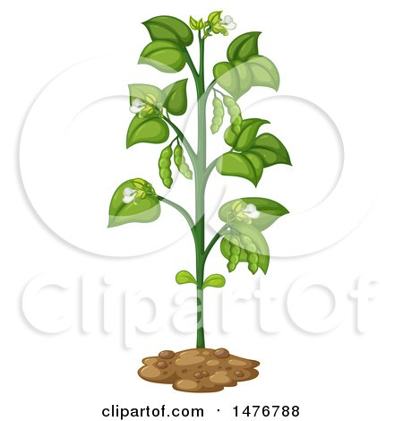 Collection of 14 free Bean clipart bean plant bill clipart.
