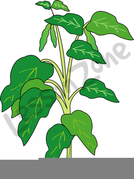 Free Clipart Of Lima Beans.