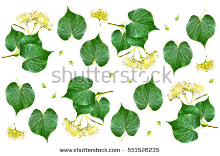Lime Blossom Stock Photos, Royalty.