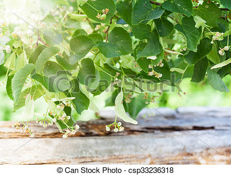 Stock Photography of Linden blossoms, lime blossom csp33236318.