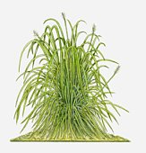 Lemon Grass Stock Photos and Illustrations.