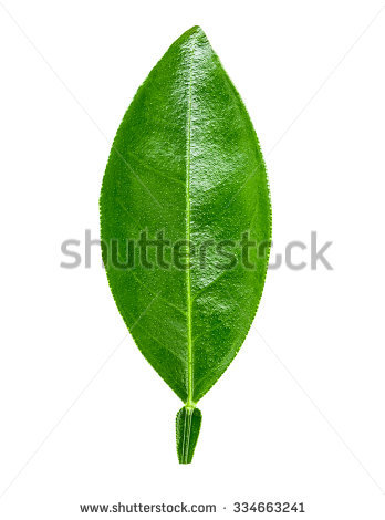 Lime Leaf Stock Images, Royalty.