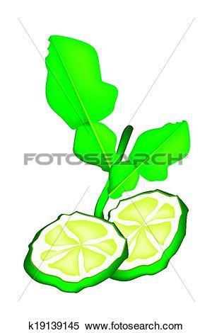 Clipart of Sliced Kaffir Lime Fruit on White Background k19139145.