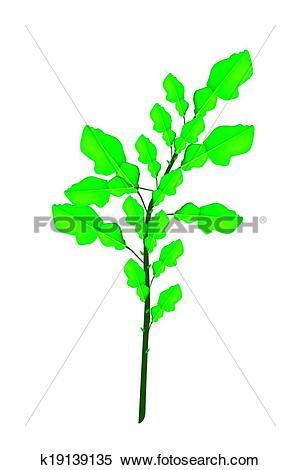 Clipart of A Fresh Kaffir Lime Plant on White Background k19139135.