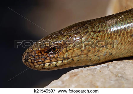 Picture of Slow worm Anguis colchica on lime rock. k21549597.