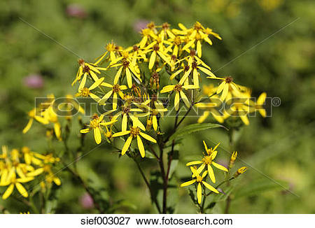 Picture of Austria, Upper Austria, Wood Ragwort at Limestone Alps.