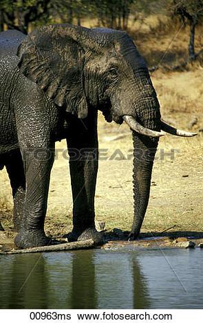 Stock Images of Ngala Game Lodge, Elefant at waterhole, Kruger.