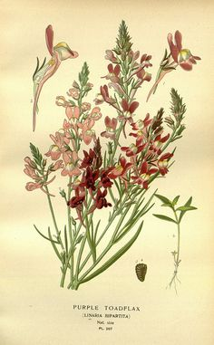 Sweet Violet botanical.