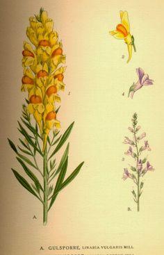 Botanical Print, Linaria vulgaris, Yellow toadflax, Butter.