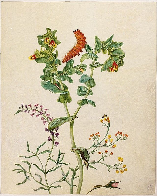 1000+ images about Maria Sibylla Merian (1647.