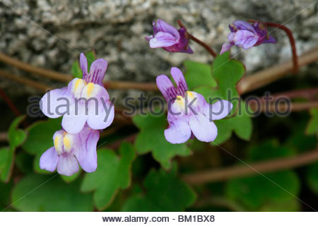 Cymbalaria muralis (Linaria cymbalaria Stock Photo, Royalty Free.