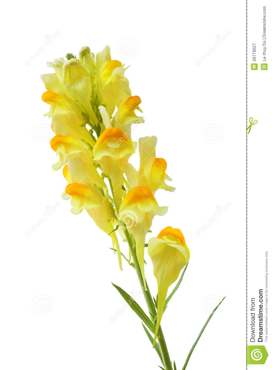 Butter And Eggs Linaria Vulgaris Flower Royalty Free Stock.