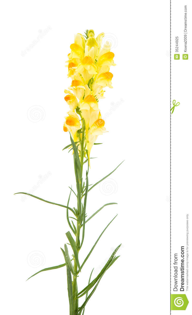 Butter And Eggs Linaria Vulgaris Royalty Free Stock Photo.