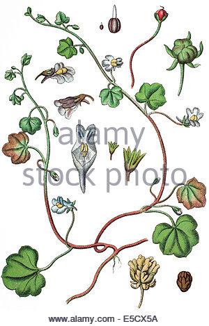 Cymbalaria muralis (Linaria cymbalaria Stock Photo, Royalty Free.