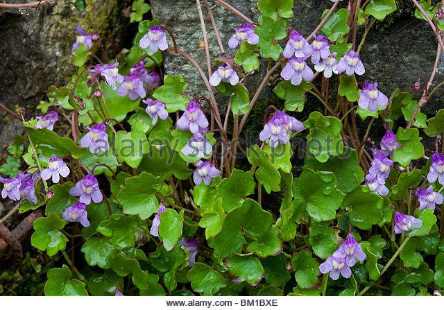 Linaria Cymbalaria Stock Photos & Linaria Cymbalaria Stock Images.