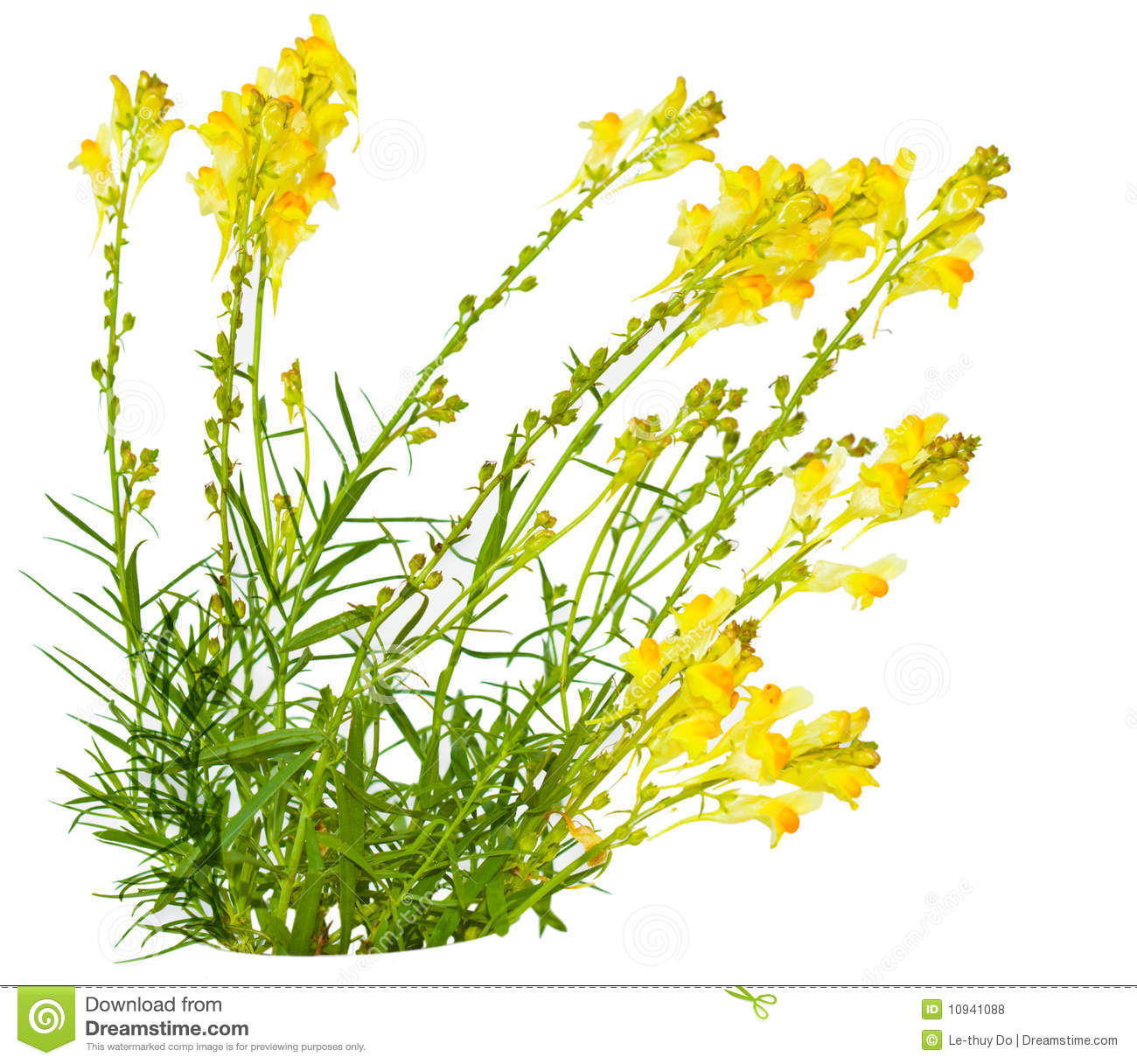 Toadflax (Linaria Vulgaris) Royalty Free Stock Photos.