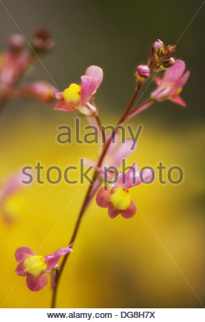 Toadflax Stock Photos & Toadflax Stock Images.
