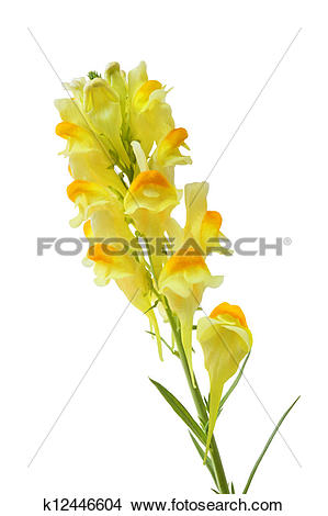 Stock Photo of Butter and Eggs Linaria Vulgaris Flower k12446604.