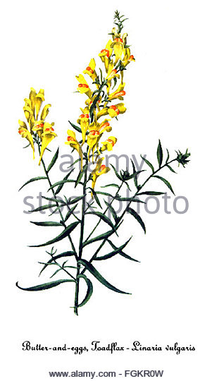 Linaria Cut Out Stock Images & Pictures.