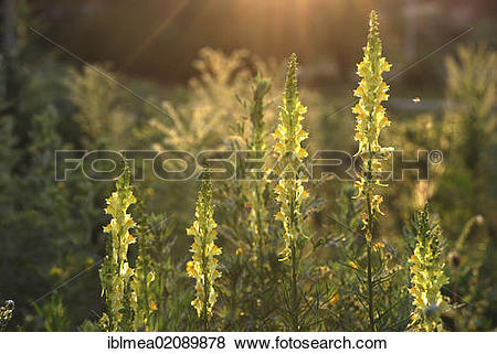 Pictures of Common Toadflax (Linaria vulgaris) iblmea02089878.