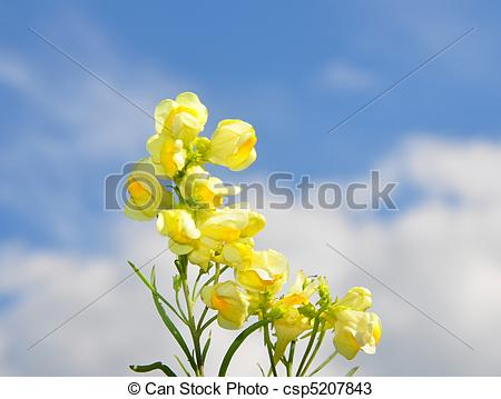 Stock Photos of Common Toadflax (Linaria vulgaris) csp5207843.