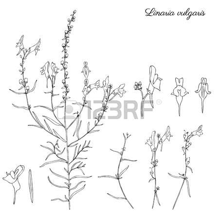 0 Officinal Plant Stock Vector Illustration And Royalty Free.