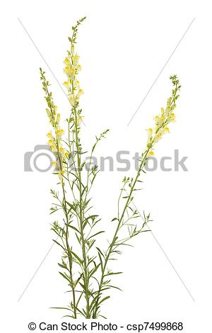 Pictures of toadflax.