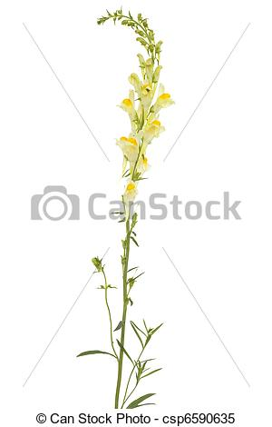 Stock Images of Linaria vulgaris.