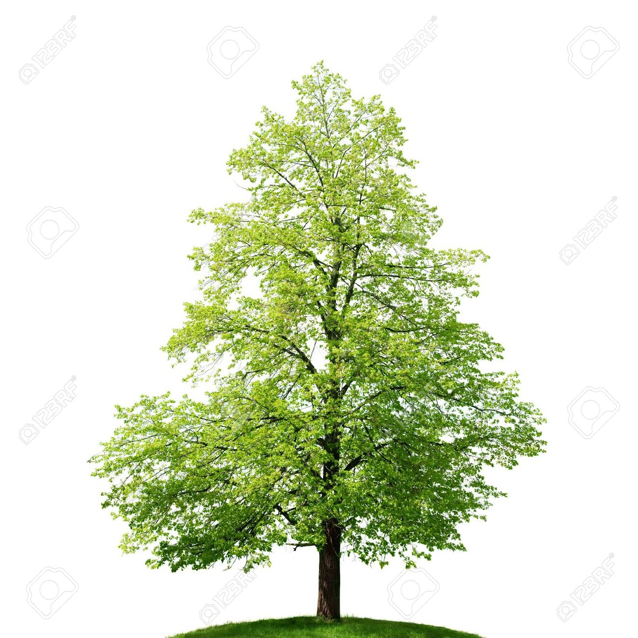 Linden Tree.