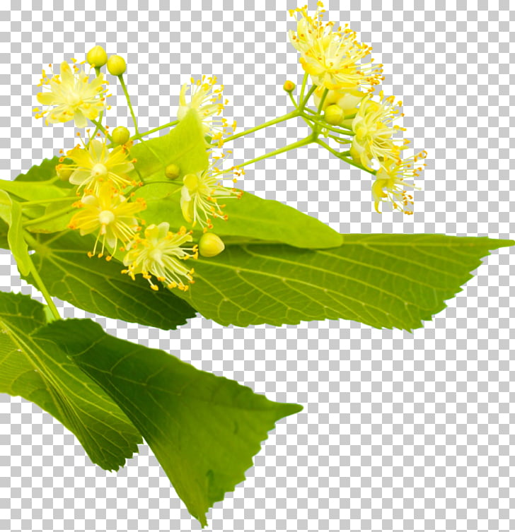 Stock photography Herb Mimosa, linden PNG clipart.
