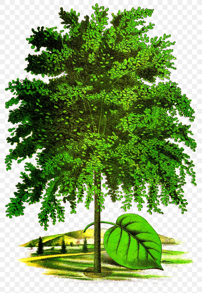 Tree Art Drawing Clip Art, PNG, 1107x1600px, Tree, American.