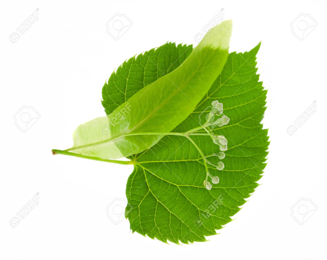 Linden Leaf And Flowers Isolated On White Stock Photo, Picture And.